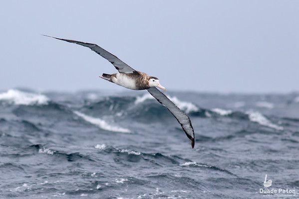 NZ Wandering Albatross
