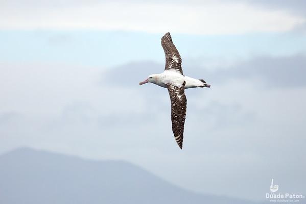 NZ Wandering Albatross (Gibsons?)