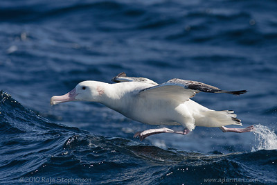 Wandering Albatross Wollongong, NSW August, 2010 IMG_7317