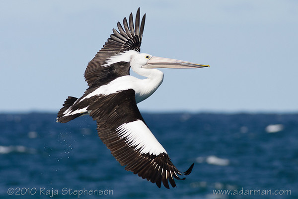 Australian Pelican Wollongong, NSW August, 2010 IMG_7846