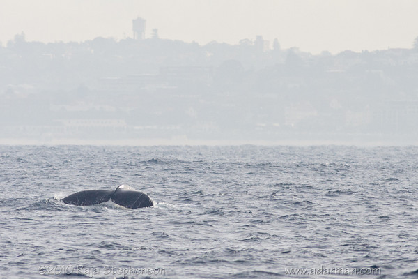 Humpback Whale Sydney, NSW July 10, 2010 IMG_2128