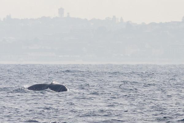 Humpback Whale Sydney, NSW July 10, 2010 IMG_2128