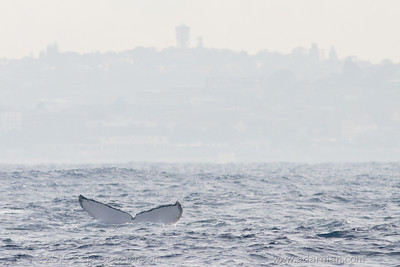 Humpback Whale Sydney, NSW July 10, 2010 IMG_2132