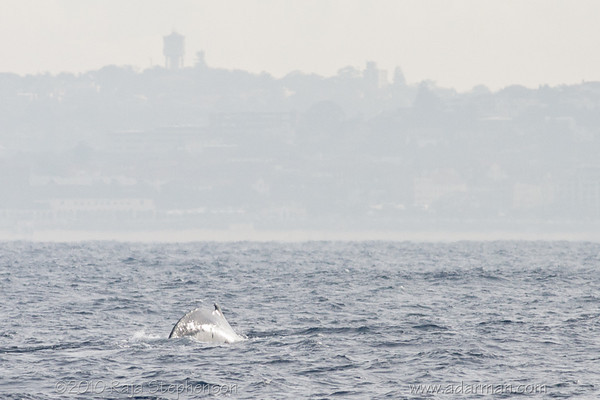 Humpback Whale Sydney, NSW July 10, 2010 IMG_2127