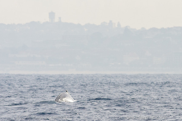 Humpback Whale Sydney, NSW July 10, 2010 IMG_2126