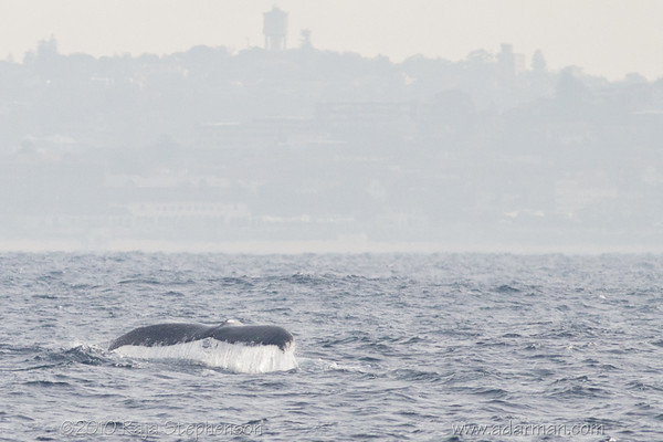 Humpback Whale Sydney, NSW July 10, 2010 IMG_2129
