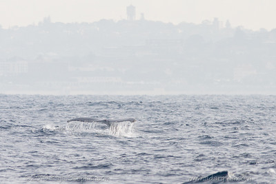 Humpback Whale Sydney, NSW July 10, 2010 IMG_2130