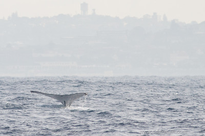 Humpback Whale Sydney, NSW July 10, 2010 IMG_2131