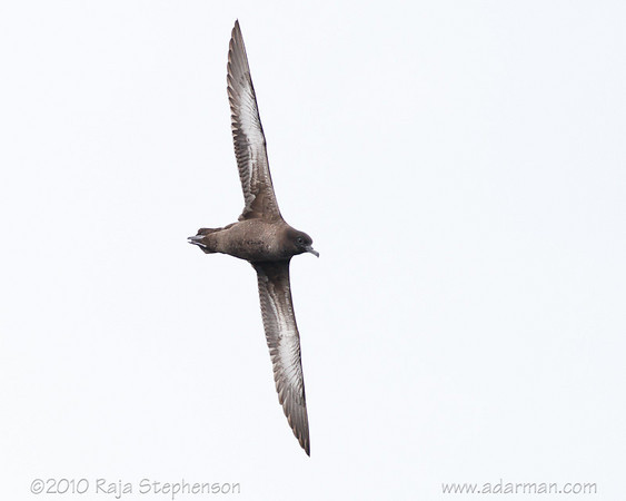Sooty Shearwater Wollongong, NSW July 11, 2010 IMG_3608
