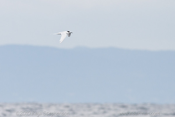 White-fronted Tern Wollongong, NSW July 11, 2010 IMG_3648