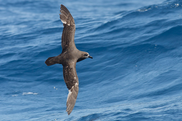 Grey-faced Petrel Sydney, NSW November 13, 2010 IMG_9669