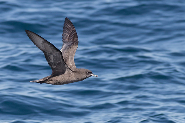 Short-tailed Shearwater Wollongong, NSW October 17, 2010 IMG_5232