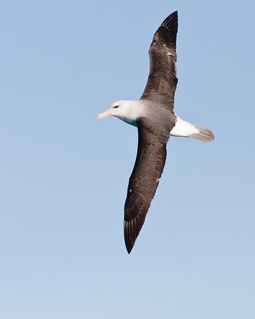 Black-browed Albatross Wollongong, NSW October 17, 2010 IMG_4854