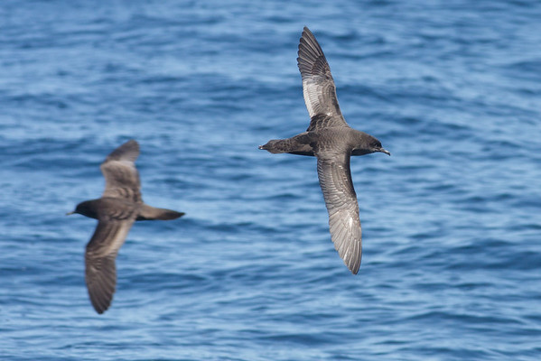 Short-tailed Shearwater Wollongong, NSW October 17, 2010 IMG_5172