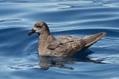 Grey-faced Petrel Wollongong, NSW October 17, 2010 IMG_5132