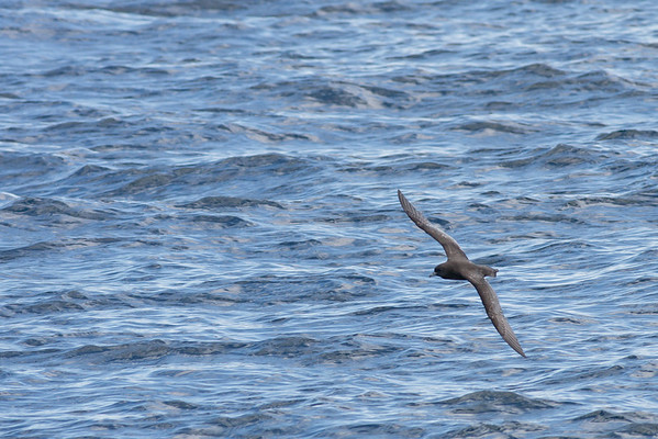 Short-tailed Shearwater Wollongong, NSW October 17, 2010 IMG_5206