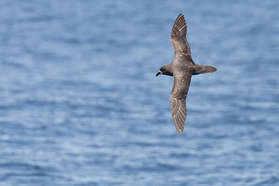 Grey-faced Petrel Wollongong, NSW October 17, 2010 IMG_5066