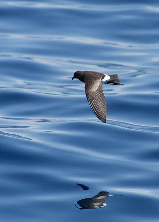 Wilson's Storm-petrel Wollongong, NSW October 17, 2010 IMG_5120