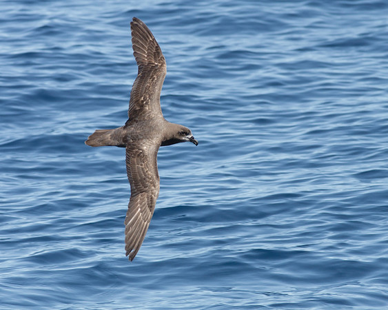 Grey-faced Petrel Wollongong, NSW October 17, 2010 IMG_5123
