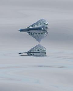 Bluebottle (Physalia physalis)