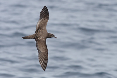 Wedge-tailed Shearwater Wollongong, NSW September, 2010 IMG_0543