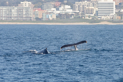 Humpback Whale Wollongong, NSW September 26, 2010 IMG_0873