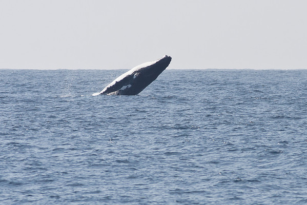 Humpback Whale Wollongong, NSW September 26, 2010 IMG_0925