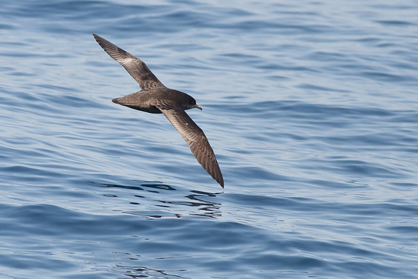 Short-tailed Shearwater Wollongong, NSW September 26, 2010 IMG_1038