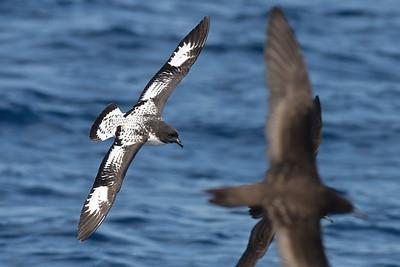 Cape Petrel (Daption capense)