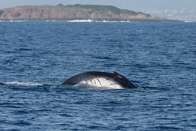 Humpback Whale Wollongong, NSW September 26, 2010 IMG_0841