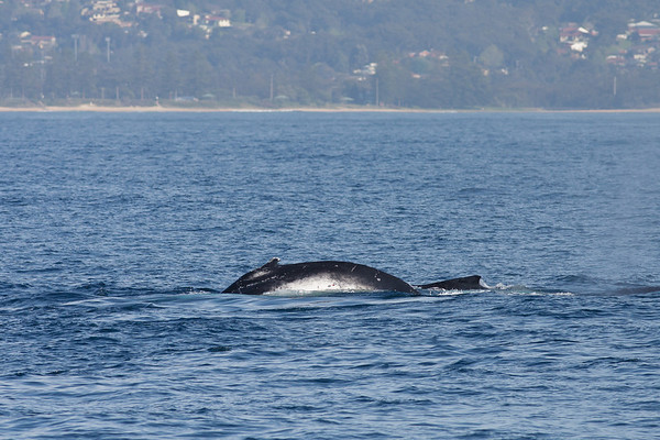 Humpback Whale Wollongong, NSW September 26, 2010 IMG_0861