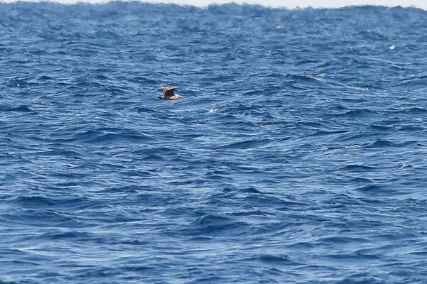 South Polar Skua Sydney, NSW April 09, 2011 IMG_9777