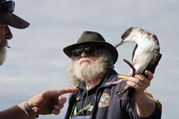 Great Shearwater Wollongong, NSW April 23, 2011 IMG_2983