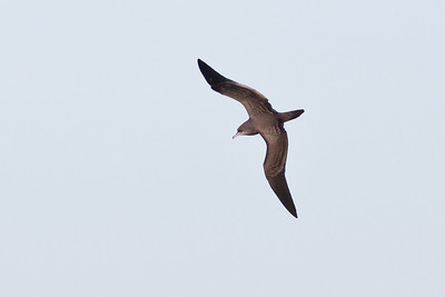 Wedge-tailed Shearwater August 13, 2011 Sydney, NSW IMG_2059
