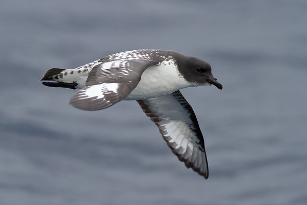 Cape Petrel August 13, 2011 Sydney, NSW IMG_2507