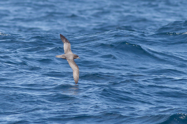 Providence Petrel August 27, 2011 Wollongong, NSW IMG_4660