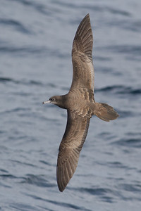 Wedge-tailed Shearwater August 28, 2011 Wollongong, NSW IMG_5587
