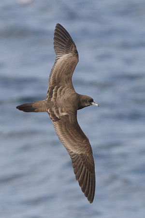 Wedge-tailed Shearwater August 28, 2011 Wollongong, NSW IMG_5528
