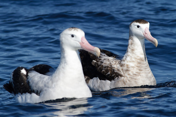 Wandering Albatross; Antipodean Albatross August 28, 2011 Wollongong, NSW IMG_6312