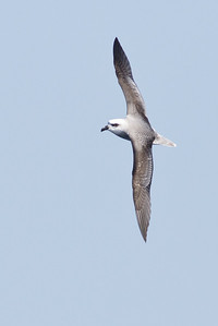 White-headed Petrel August 28, 2011 Wollongong, NSW IMG_5839