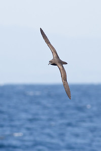 Great-winged Petrel August 28, 2011 Wollongong, NSW IMG_5990