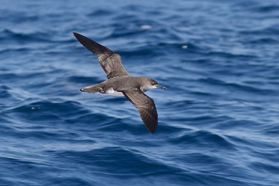 Hutton's Shearwater August 28, 2011 Wollongong, NSW IMG_5947