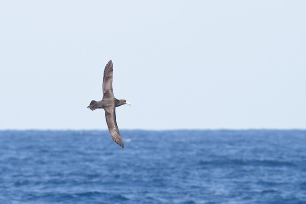 Northern Giant-petrel August 28, 2011 Wollongong, NSW IMG_5975