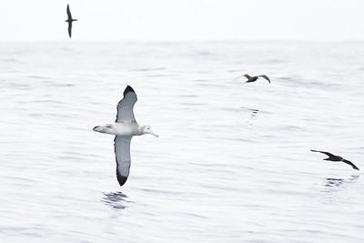 Wandering Albatross December 10, 2011 Sydney, NSW IMG_7846