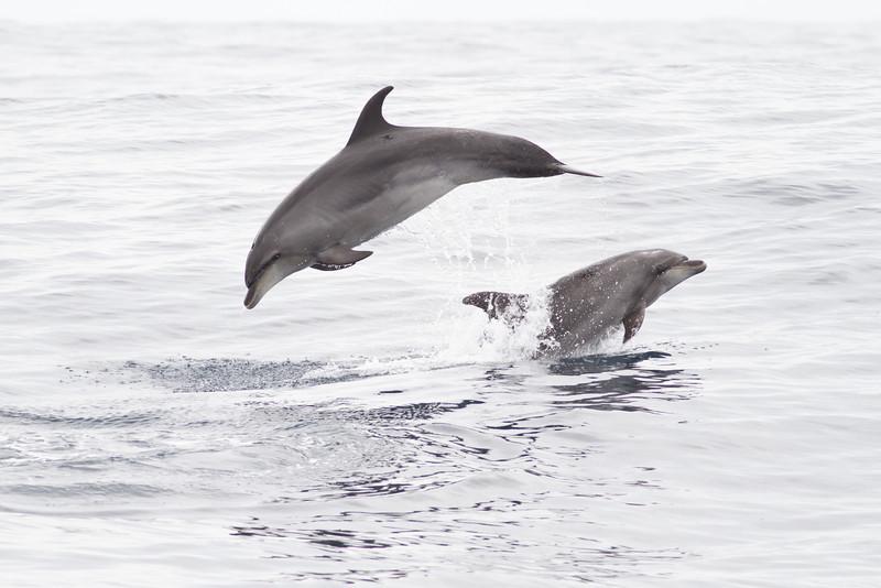 Oceanic Bottlenose Dolphin December 10, 2011 Sydney, NSW IMG_7869