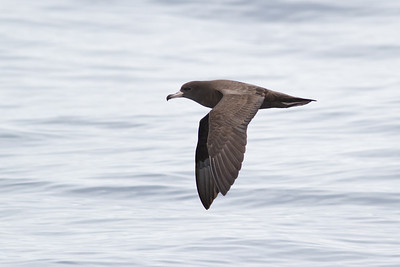 Flesh-footed Shearwater December 10, 2011 Sydney, NSW IMG_7810