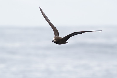 Grey-faced Petrel December 10, 2011 Sydney, NSW IMG_7595