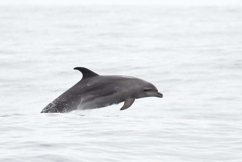 Oceanic Bottlenose Dolphin December 10, 2011 Sydney, NSW IMG_7876