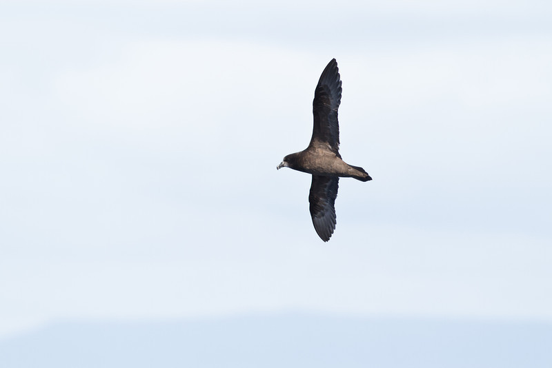 Grey-faced Petrel December 17, 2011 Wollongong, NSW IMG_8233