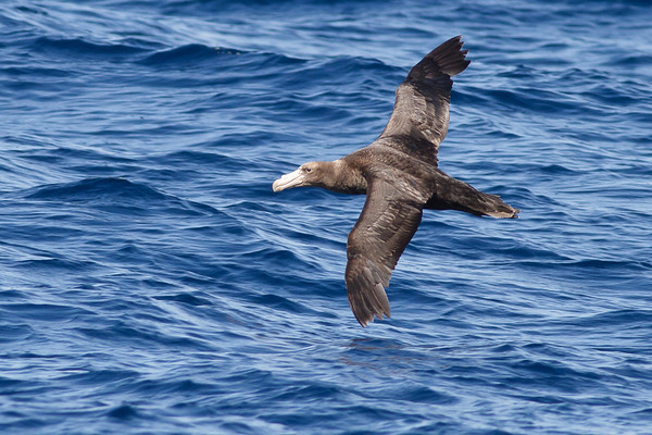 Northern Giant-petrel December 17, 2011 Wollongong, NSW IMG_8229